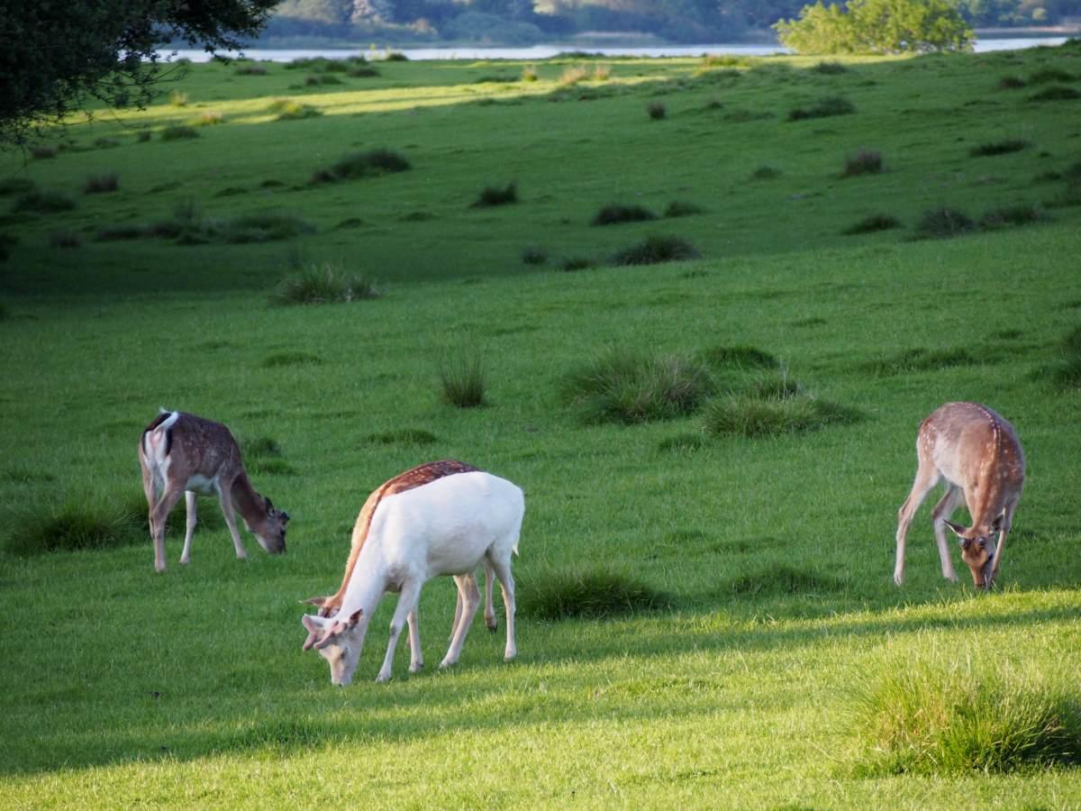 Deer at Haderslev Deer park.