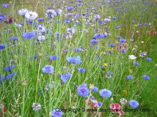 Danish Wild flowers